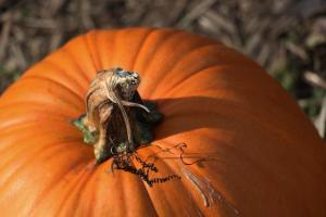 PumpkinCloseUp