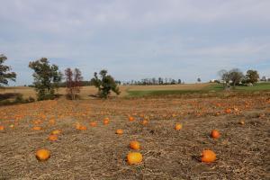 PumpkinField1